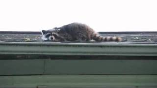 How to remove racoon from attic