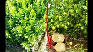 SeedLess Lemon Plants In My Nursery. Apple Ber Nursery.Contect/Whatsapp No.08514981670