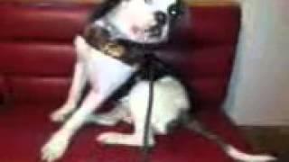 KOMANDO an American bulldog