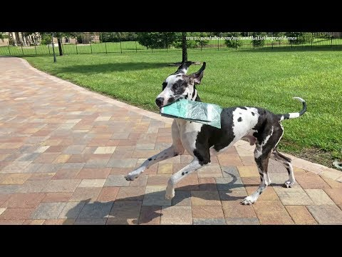 Great Dane Puppy Proudly Delivers the Newspaper Despite Distractions