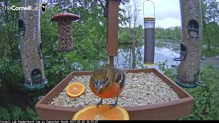 Female Baltimore Oriole Tastes Two Orange Slices – May 26, 2017