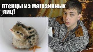 Домашний #инкубатор! Цыплята из магазинных яиц! Как сделать инкубатор!
