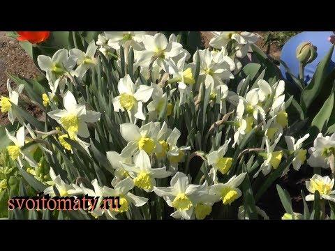 Нарциссы: посадка и весенний уход