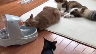 ちゃんと後ろに並んで順番待ちする秀吉  Kitten is waiting for my turn