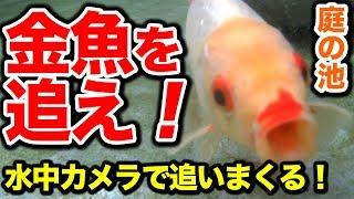 庭の池金魚を水中カメラで追いまくる!#1552018.10.18