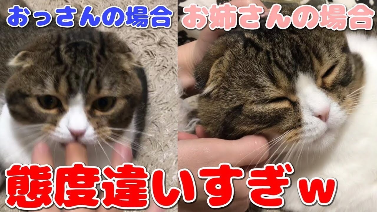 飼い主によって態度を露骨に変える猫www【スコティッシュフォールド】【Scottish Fold】