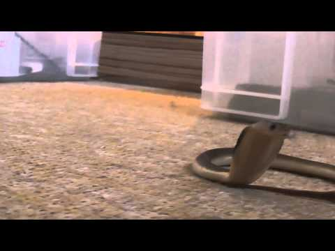 CUTE: Baby cobra charges camera
