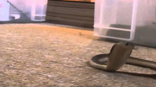 CUTE: Baby cobra charges camera - Video Youtube