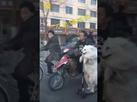 Собака едет на электросамокате по проезжей части