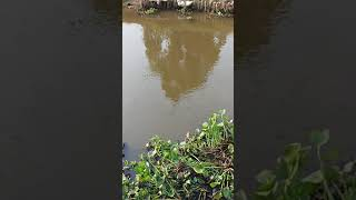 preview picture of video 'It's a lot of fish appear in the natural river'