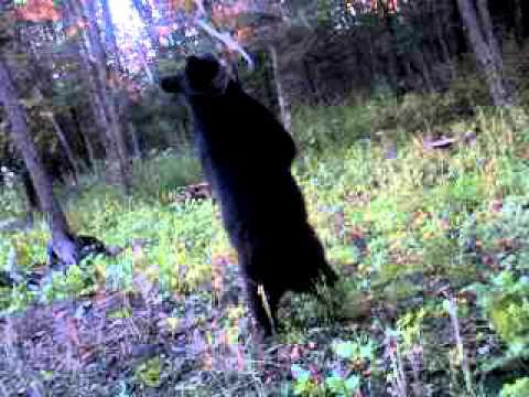 Black Bear Likes Synthetic Bear Juice