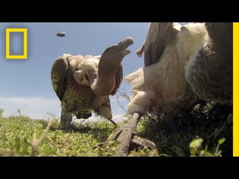 Video Shows What It Looks Like When Vultures Attack A Carcass In Nature