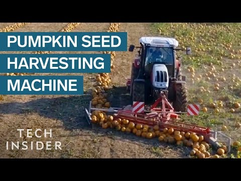 Harvesting Pumpkin Seeds