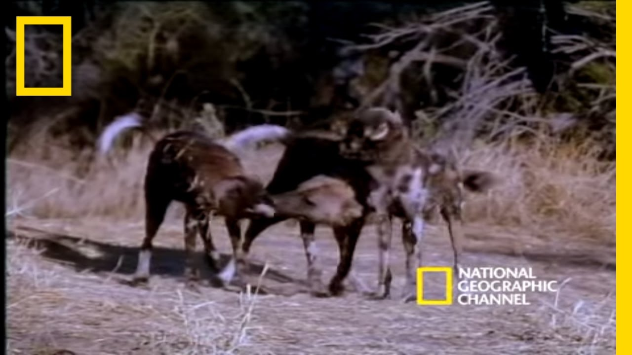 Painted Dog | National Geographic thumbnail