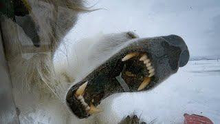Белый медведь в деле. Самый страшный хищник на планете