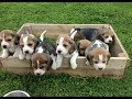 Funny And Cute Beagle Puppies Compilation #1 - Cutest Beagle Puppy