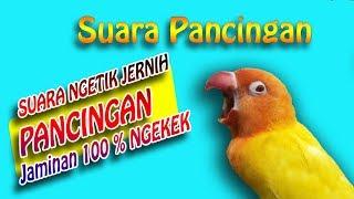 Suara Ngetik Pancingan LOVEBIRD Konslet , Jamin 100% Jadi KUSUMO - Lovebird Singing Kontes