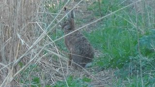 preview picture of video 'Feldhase (Lepus europaeus) in Wien (Laaer Berg - Osthang) - European hare'