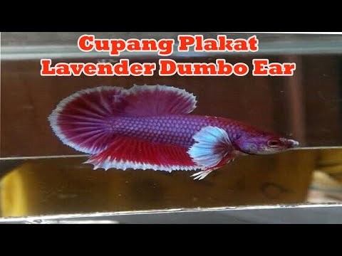 Cupang Plakat Lavender Dumbo Ear