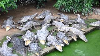 preview picture of video 'Crocodile Farm in Siem Reap'