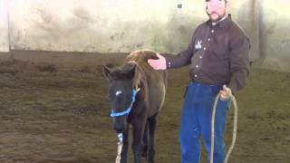 Halter Breaking a Foal with Scarlet
