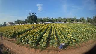 FullHD FPV drone@flower park field - cruising
