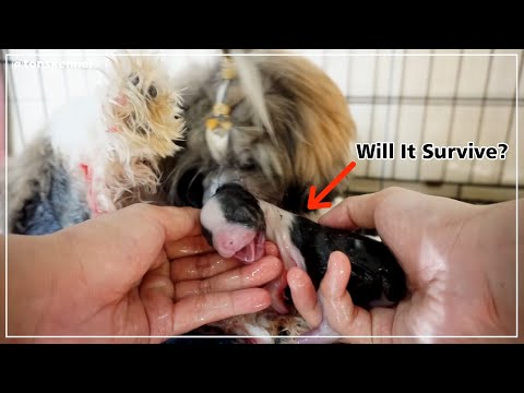 How to Help A Dog Give Birth Without Any Death | Pippo's Newborn Puppies