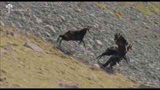 La plus belle attaque d'aigle du monde sublime