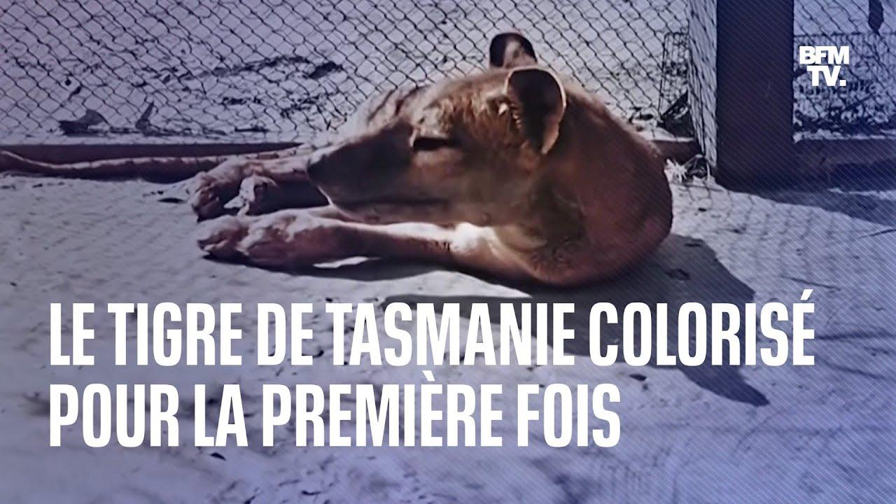 Le tigre de Tasmanie, disparu en 1936, colorisé pour la première fois