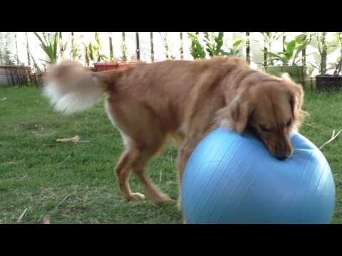 Golden Retriever Vs Yoga Ball