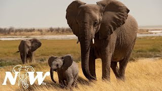African Wildlife: ELEPHANTS Part #1 – Mindfulness Relaxing Music with Giant Elephants.