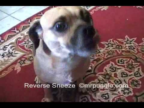 How Do You Get A Dog To Stop Sneezing