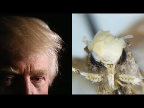 Trump's hair inspires moth name