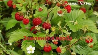 Видеозарисовка  Земляника ягода(детская песня)