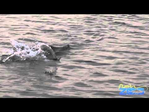 Susquehanna Flats Topwater Blowups 5 2 16