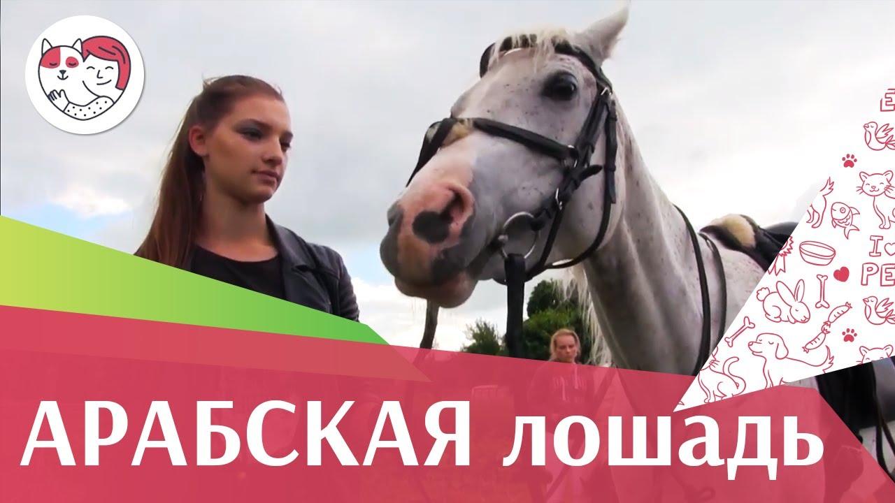 Арабская лошадь на  ilikepet