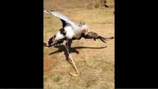 Secretary Bird does a Classic Irish Stepdance on a snakes face