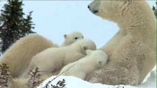 Expeditionen ins Tierreich - Das Abenteuer der Eisbärenkinder: Rodeoreiten auf der Mutter