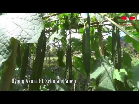Video Agro TV-Oyong Azura F1, Sebulan Panen