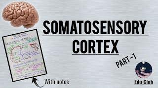 Somatosensory Cortex - Detailed Guyton Explanation - Part 1/2