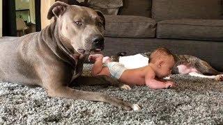 Действительно ли они самые опасные собаки? питбулл, nannydog, персонал#2
