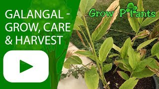 Galangal - growing, care & harvest