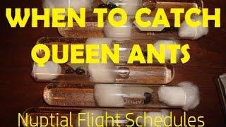 When to Catch Queen Ants: Nuptial Flight Schedules   AntsCanada Tutorial #36