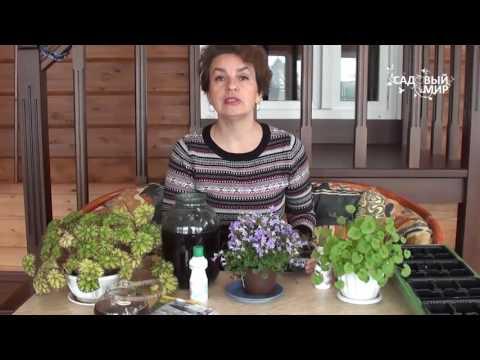 Как выращивать комнатный колокольчик