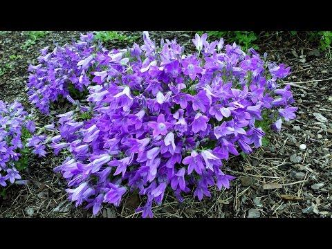 Best Perennials - Campanula Catharina (Dalmatian Bellflower), for raised beds, rock walls & pots.