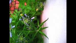 アガパンサスの開花をコマ撮り撮影しました。
