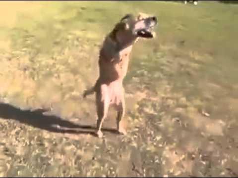 Anteprima Video Il cane senza gambe anteriori, fa commuovere il web