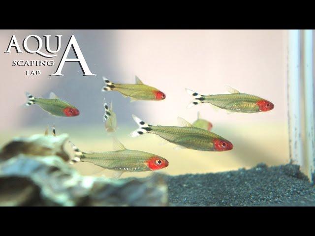 Aquascaping Lab - Hemigrammus Bleheri Rummynose Tetra description / pesce fiammifero scheda tecnica