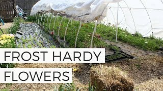 Growing FROST TOLERANT Flowers: Planting Hardy Annual Flowers for Spring Cut Flower Garden
