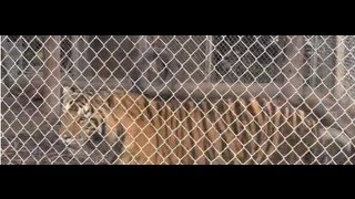 preview picture of video 'Bear Path Acres - Tiger'